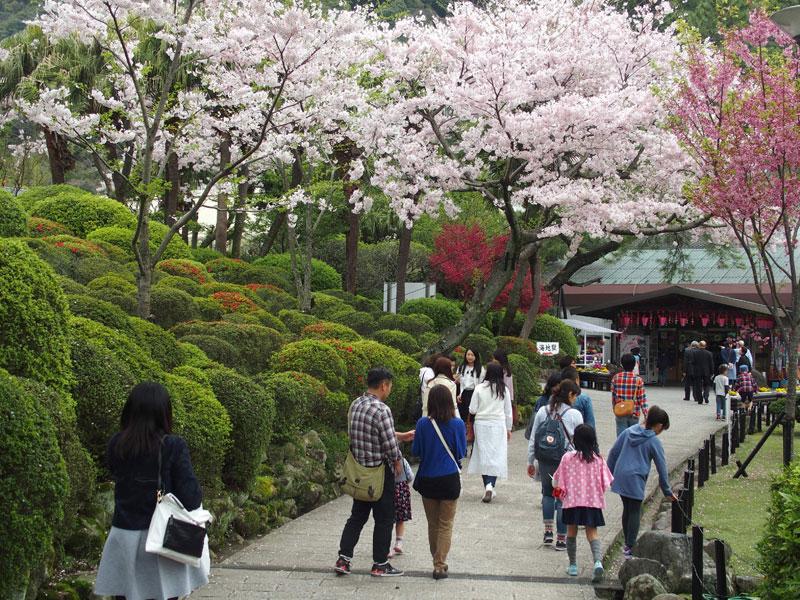 別府家族招待旅行-桜風景